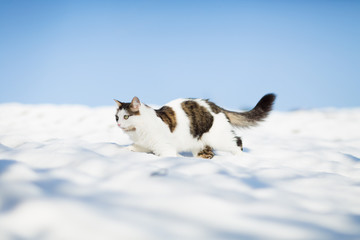 Siberian cat walking on covered with snow roof