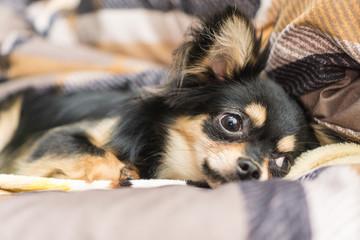 Black and Tan Chihuahua is Sleeping.