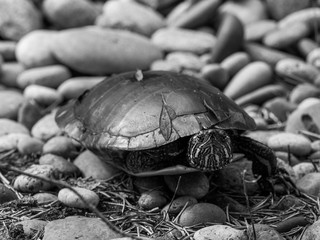 Black and White High Contrast Film Stone Turtle