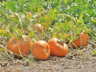 Autumn pumpkins, ripe and growing on a vine