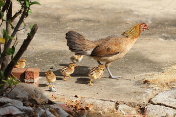 Hen with baby chickens chicks standing/running together on a farm, mother chicken protecting teaching baby chicken, finding food for her children, backgrounds, wallpaper