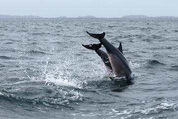 Delfine bei Trincomalee Sri Lanka im Indischen Ozean