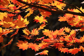 Autumn leaves of Sapporo park
