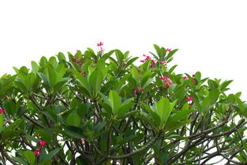 Pink Plumeria isolated on white background, Frangipani flowers
