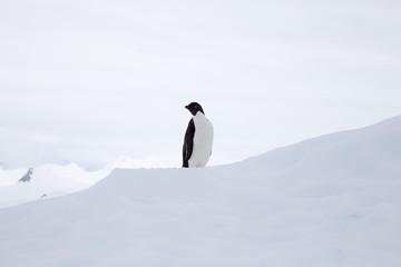 Adelie Penguin on an iceberg