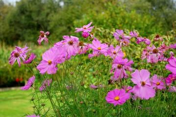Fond de hotte en verre imprimé Univers Groupe de fleurs de Cosmos rose au premier plan d'un jardin