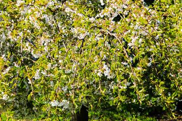 Detail of blossom cherry tree