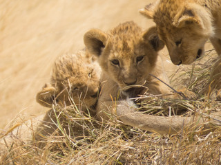 Lion cubs playing with lioness tail