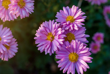 Violet flowers of aster. Close-up shooting.