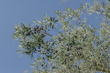 Cilento's Olive Oil, before harvesting, Italian Oil Production. Mature black olives, the green apple of olive trees and the background a blue sky. Castelcivita. Salerno