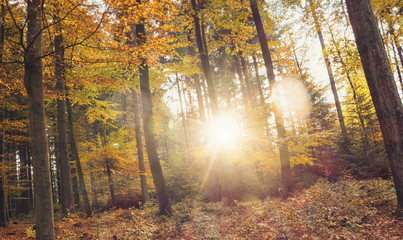 Golden autumn scene in the forest with sun shining exposiv through the trees