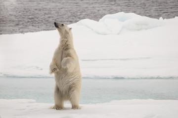 A polar bear on its hind legs