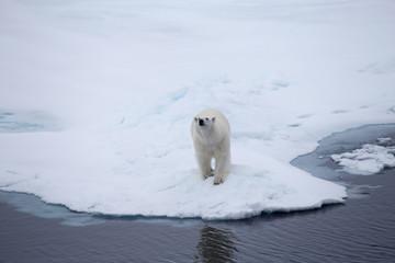 A Polar bear on an iceflow.