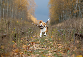 Beagle dog playing with a stick in the autumn forest