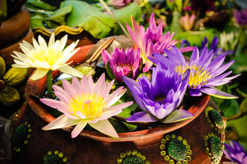 Garden Poster Lotus flower Color of lotus in the pot