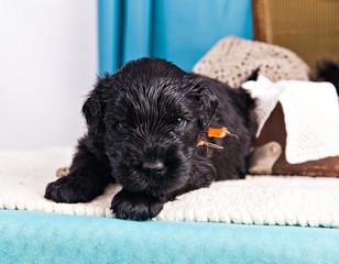 Puppy breed Black Russian Terrier