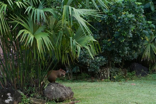 Agouti sitting under palm tree in a city park