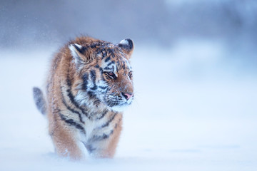Close up, young Siberian tiger, Panthera tigris altaica, male in winter landscape, walking directly at camera in deep snow against birch trees during snowstorm. Taiga environment,freezing cold,winter.
