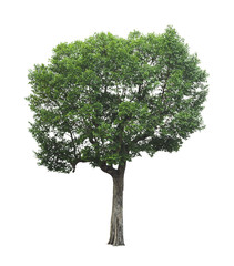 big tree on white background with clipping path