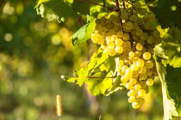 Sunset in the vineyards of Friuli Venezia Giulia