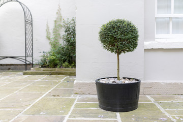 Topiary garden tree in a pot with decorative pebble base standing in an English stately home courtyard