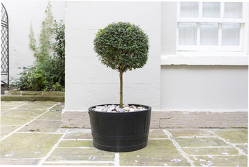 Topiary garden tree in a pot with decorative pebble base standing in an English stately home courtyard in the UK