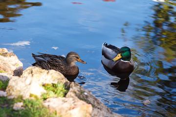 Male and female mallard ducks in the water