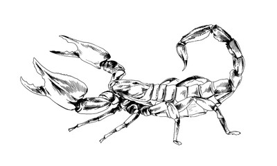 striker Scorpion with a poisonous sting drawn in ink by hand on a white background tattoo