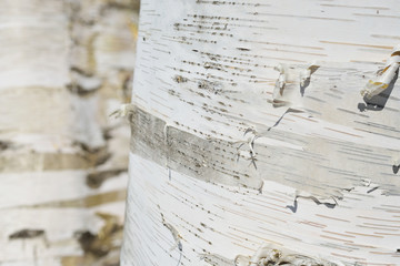 Birch Bark Background