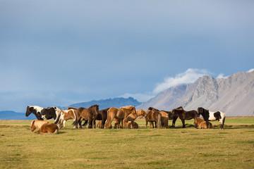 Islandpferdeherde