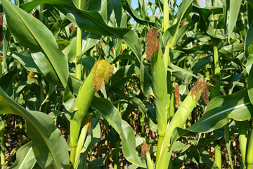 Young corn cobs on farmer field close-up.