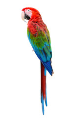 Poster Perroquets Scarlet Macaw, Colorful bird perching with white background and clipping path.