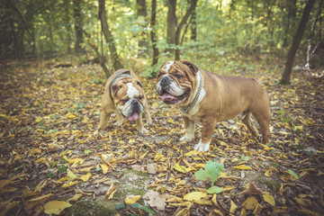 Two English bulldogs posing outdoor in the woods,selective focus