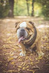 Cute fashionable English bulldog posing outdoor,selective focus