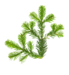 Spruce twigs white background Christmas tree branch