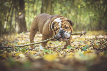 Playful English bulldog holding wooden stick in his mouth