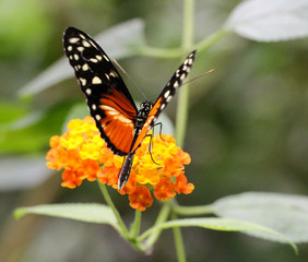 Heliconius hecale, Goldener Hekale, Schmetterling