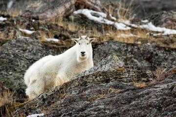Mountain Goat In October-Glacier National Park