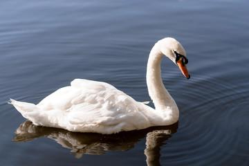 white beautiful Swan swimming in a lake