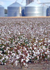 A field of mature cotton with farm buildings in the background