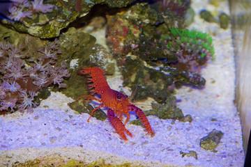 Daum's Reef Lobster, Enoplometopus daumi