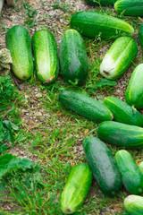Огурец. Очень хороший урожай огурцов. Сбор урожая огурцов. Очень вкусные овощи. Cucumber. Very good harvest of cucumbers. Harvesting of cucumbers. Very tasty vegetables