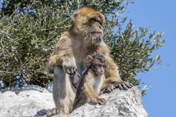 Barbary macaque at the rock of gibraltar