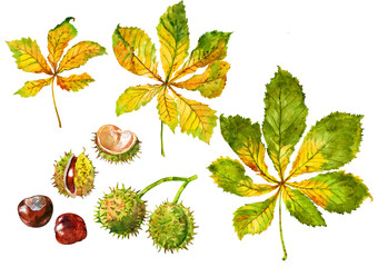 Chestnut. Leaves and nut. Set. Watercolor.
