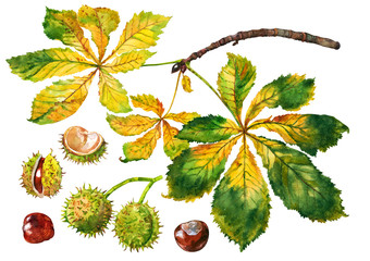 Autumn branch chestnut. Watercolor.