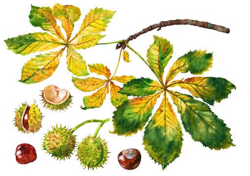 Autumn branch chestnut. Watercolor.
