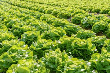 Salat auf dem Feld - Reihe mit Gemüse auf dem Acker  Fotoväggar