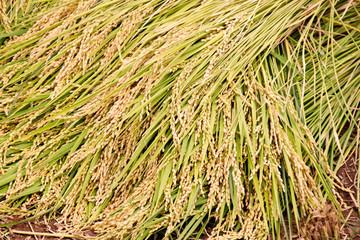 秋の味覚の収穫、田んぼで新米の稲刈りをした稲穂の稲束の写真素材