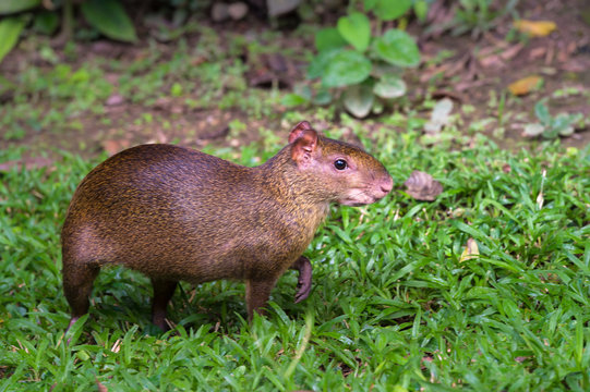 Red rumped Agouti, (Dasyprocta leporina), a common rodent to the Amazon Rain Forest, Tambopata