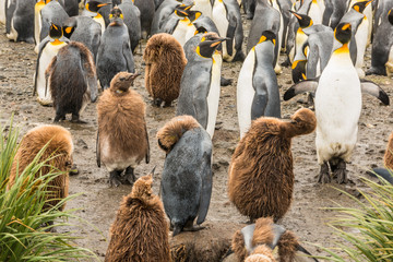 King penguin colony (Aptenodytes patagonicus) with chicks in foreground, on Salisbury Plain, Bay of Isles on the north coast of South Georgia